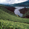 Tea plantation in